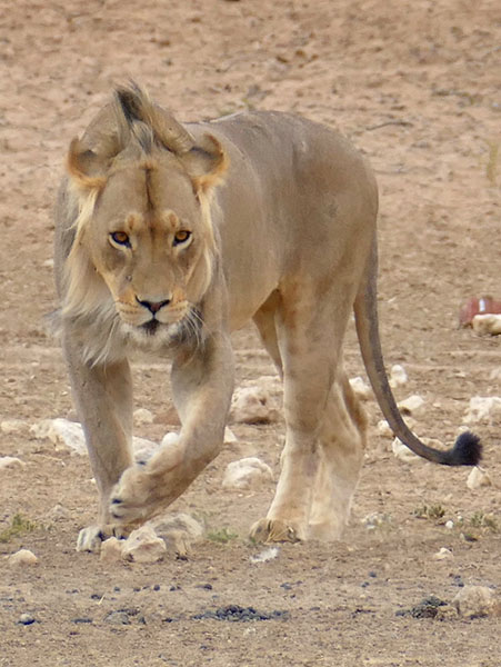 Young male lion - Kgalagadi Transfrontier Park, photo by Mike Weber