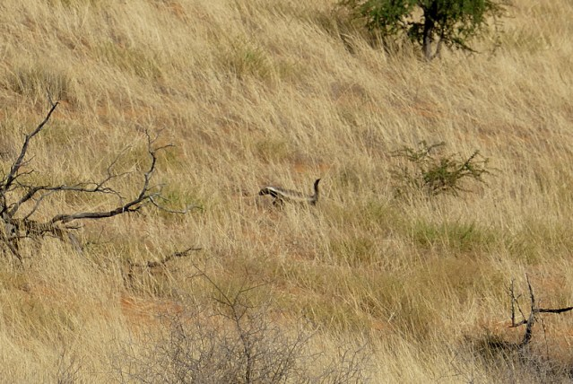 Distant honey badger, Kgalagadi Transfrontier Park, photo by Mike Weber, Jen Funk Weber