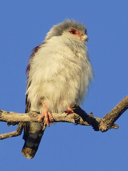 Pygmy falcon in the early morning, Kgalagadi Transfrontier Park, by Mike Weber, Jen Funk Weber
