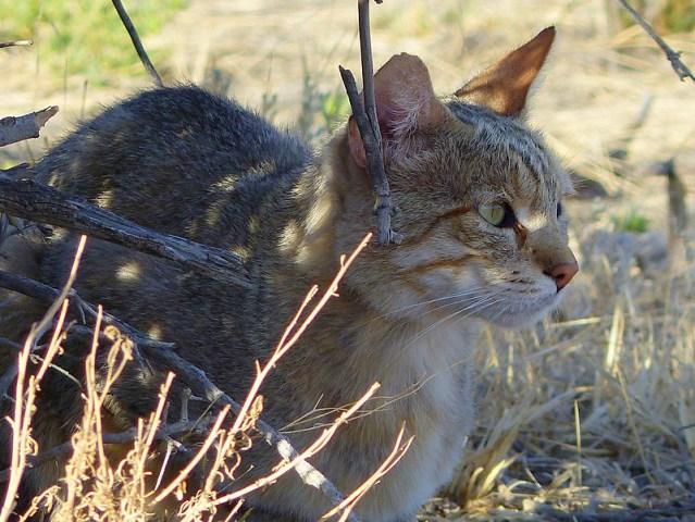 African wild cat, Kgalagadi Transfrontier Park, photo by Mike Weber, Jen Funk Weber