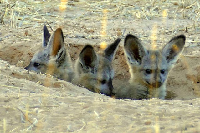 Bat-eared fox kits emerging from their den. Photo by Mike Weber.