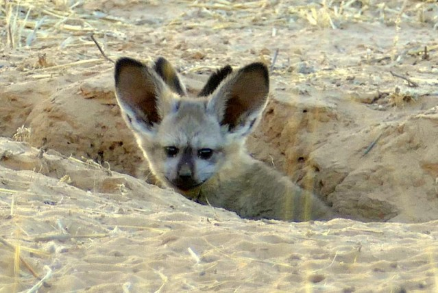 Bat-eared fox kits peeking out from their den. Photo by Mike Weber.