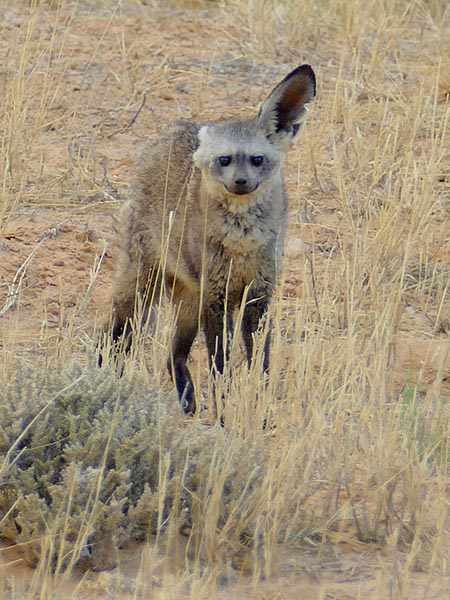 Male bat-eared fox, one ear flat back. Photo by Mike Weber.
