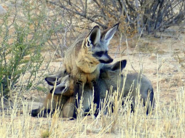Mama bat-eared fox nursing kits. Photo by Mike Weber.