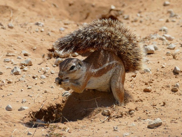 Ground squirrel with its tail parasol up. Photo by Mike Weber.