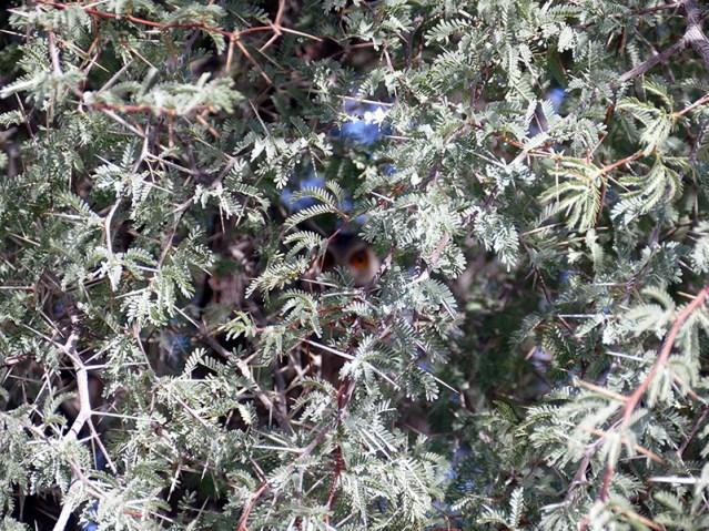 Scops owl tree, Kgalagadi Transfrontier Park, photo by Mike Weber, Jen Funk Weber