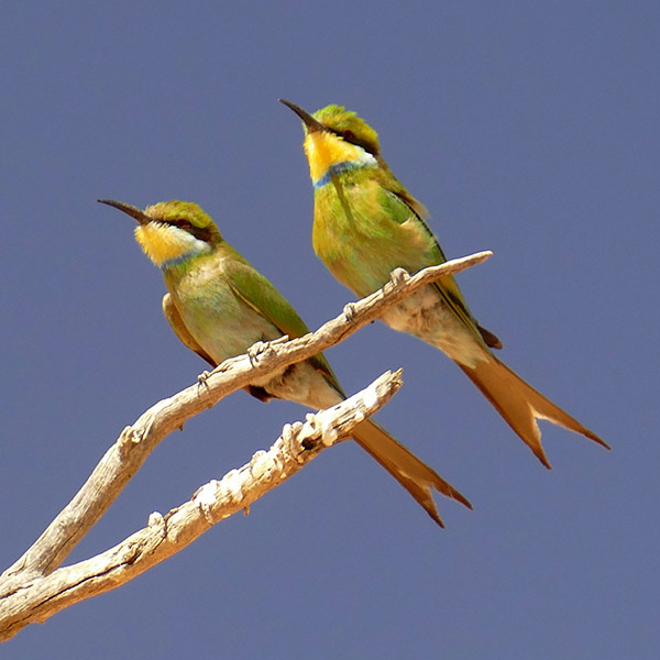 Swallow-tailed bee eaters. Photo by Mike Weber.
