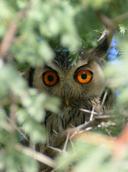 White-faced scops owl in thick, thorny tree, Kgalagadi Transfrontier Park, photo by Mike Weber, Jen Funk Weber