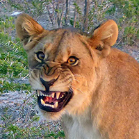 Lion laugh