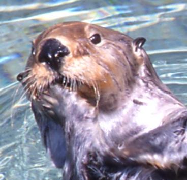 sea otter face