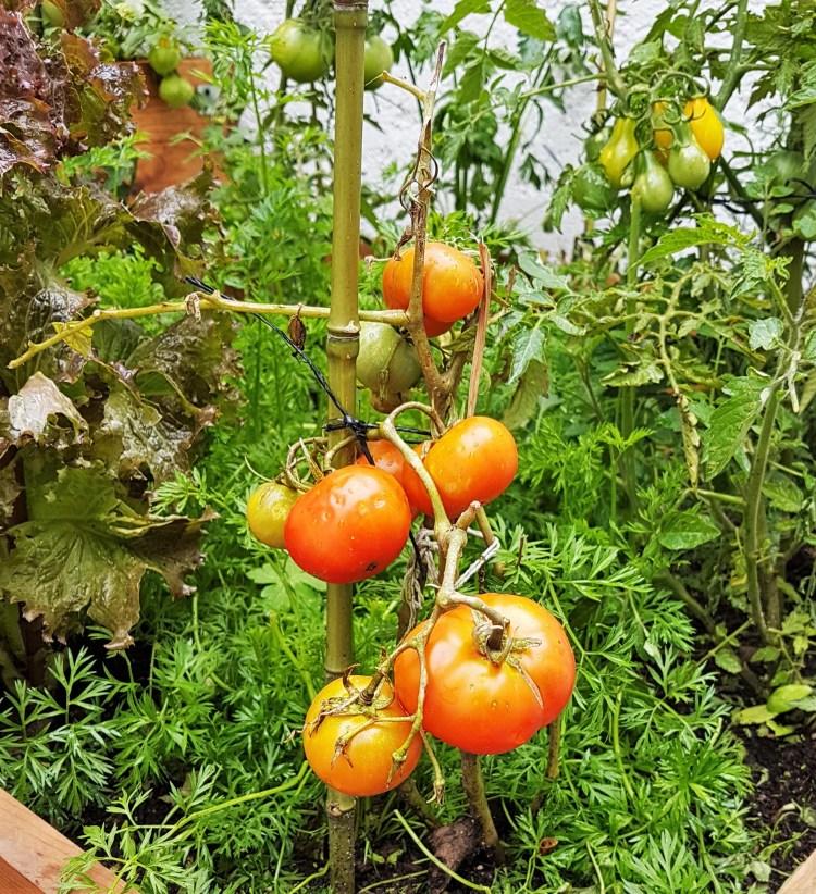 Tomates julio