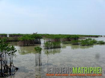 Tanaman Mangrove