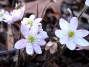 Hepatica nobilis var. acutiloba