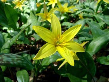 Erythronium americanum