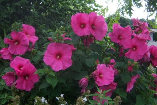 hibiscus1