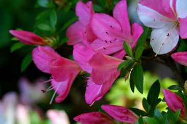 Rhododendron8