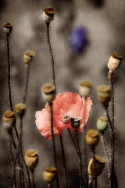 BotanyPoppies