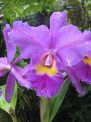 Orchid at Hawaii Tropic Botanic Gardens, Hilo, Hawaii