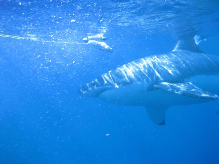 Great white shark off the coast of Mexico's Isla Guadalupe