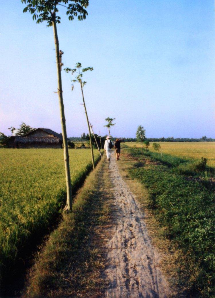 Rice paddy in Vietnam