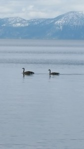 Geese20150516_135709