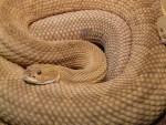 basilisk-rattlesnake-7303_640
