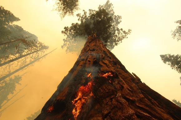 GiantSequoia-WindyFire