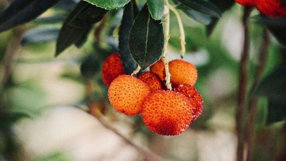 corbezzolo fruits close up