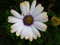 Daisy Dewdrops