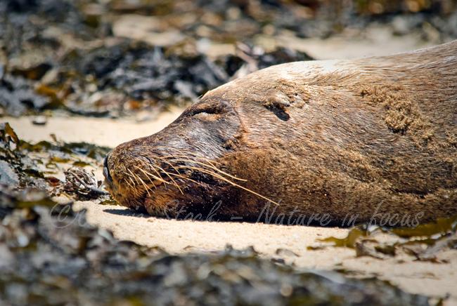 Snoozing Australian sea-lion