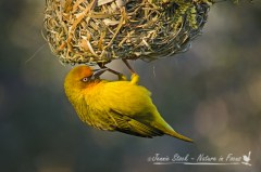 Male Cape weaver looking for female approval of his nest building skills.