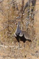 Red-crested korhaan©Jennie Stock – Nature in focus