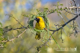 Male Southern masked weaver beginning his nest.