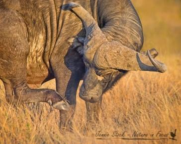 Cape buffalo having a scratch