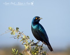 Glossy starling showing off its shiny feathers