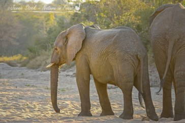 Young elephant in river bed