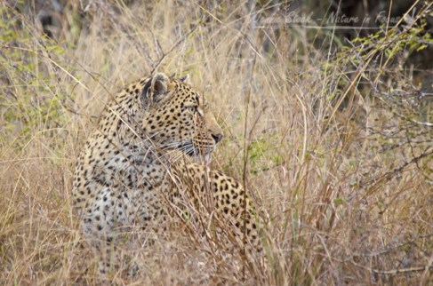 Watchful leopard