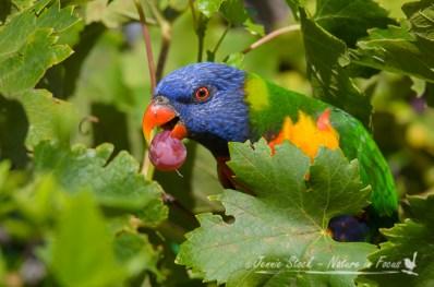 Rainbow Lorikeet sneaking a grape in the garden