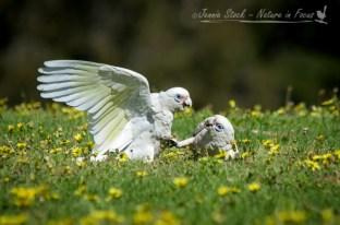Squabbling Little Corellas, a common site in parks in Perth