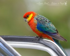 A hopeful Western Rosella at a tourist stop in the forest of South-Western Australia
