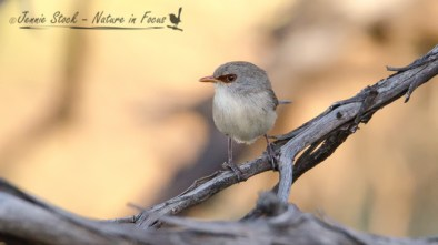 Note the dark chestnut mask and tan bill of the female Variegated Fairy-wren.