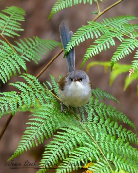 Another view of a female Red-winged Fairy-wren
