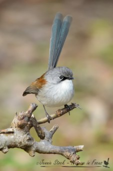 Eclipse male Red-winged fairy-wren showing the black lores and beak