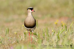 Crowned Plover (or Lapwing) on the golfcourse in Montagu in the Western Cape