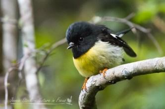 The very cute Tomtit seen on Stewart Island