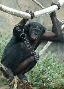 orangutang hanging