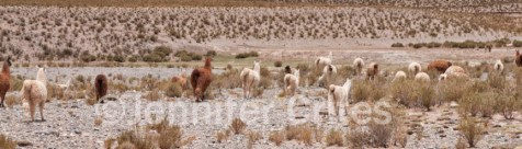 A herd of llamas hightails it for the hills when our tourist van stops to take pictures in the high-desert region of Argentina.