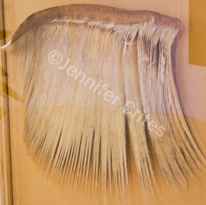 baleen sample at museum