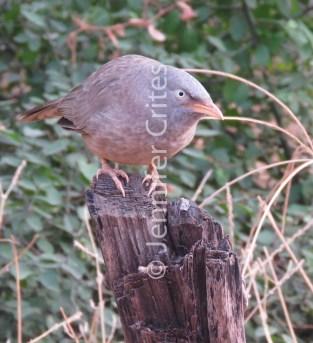 Ranthambhore preserve 547