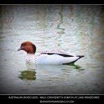 Australian Wood Duck at Lake Wendouree